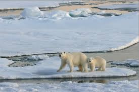 Melting Glacier Endangering Polar Bears